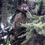 نجاة أسد بعد سقوط مروع من أعلى شجرة