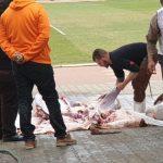 الأهلي يذبح «عجل» لحل مشكلة الإصابات بالفريق