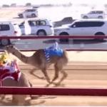 منافسة قوية في مهرجان الشيخ محمد بن زايد لسباقات الإبل بعجمان