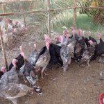 ظهور بؤرة لإنفلونزا الطيور في شمال إسرائيل
