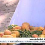 العمار ..القرية المصرية الأشهر في زراعة المشمش