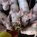 الصين توضح حقيقة ظهور سلالة جديدة من إنفلونزا الخنازير