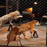 نمور تقتل مروضها في إيطاليا والبرلمان يناقش حظر استخدام الحيوانات في السيرك