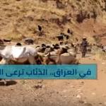 شاهد كيف ترعى الذئاب الغنم في العراق