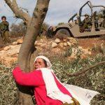 الاحتلال يحارب أشجار الزيتون في فلسطين