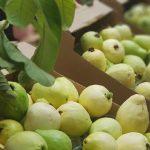 شاهد| مهرجان للجوافة في مدينة قلقيلية بالضفة الغربية