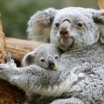 الكوالا يواجه مخاطر حرائق الغابات في أستراليا