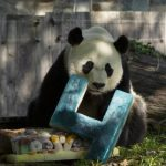 الباندا «بي بي» ينتقل في رحلة إلى الصين للزواج