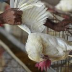 دولة أفريقية تعدم آلاف الدجاج بسبب إنفلونزا الطيور