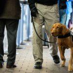 بدقة 98.2 % ..حاسة الشم لدى الكلاب سلاح فعال للكشف عن كورونا