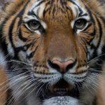إصابة أنثى نمر في حديقة حيوان بنيويورك بفيروس كورونا