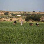 تحذيرات من انهيار القطاع الزراعي في قطاع غزة بسبب كورونا