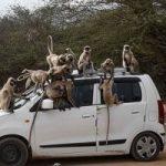 القرود تسرق عينات دم مرضى كورونا في الهند.. فما مصيرها؟