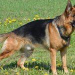 رحيل أول كلب أصيب بفيروس كورونا في الولايات المتحدة