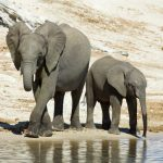 تجارب لاستخدام زيت القنب في تهدئة الأفيال