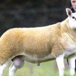 خروف أغلى من ثمن فيلا فاخرة!!