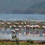 بعد غياب طويل.. طيور الفلامنجو الوردية تعود إلى بحيرة ناكورو في كينيا