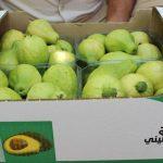 الجوافة.. فاكهة قلقيلية المدللة تقاوم الاحتلال وكورونا في الضفة الغربية