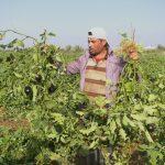 فيروس كورونا يحاصر المزارعين في قطاع غزة