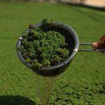 الأزولا علف اقتصادي صديق للبيئة يزرع لأول مرة في الضفة الغربية