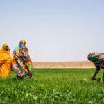السودان يعلن الاكتفاء الذاتي من القمح والطحين