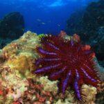 علماء يرصدون نقطة ضعف لنجم البحر الآكل للمرجان.. فما أهمية ذلك؟