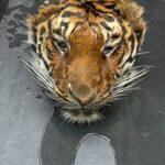 العثور على نمر مقطوع الرأس في حديقة حيوانات تايلاندية