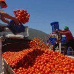روسيا تدرس حظر واردات الطماطم من المغرب
