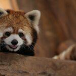 حديقة حيوان في تشيلي تقدم زوجين من الباندا الحمراء النادرة للجمهور