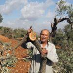 مستوطنون يقتلعون عشرات أشجار الزيتون في الخليل