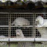 بولندا: سلالة لكورونا مكتشفة قادرة على الانتقال من «المنك» للبشر