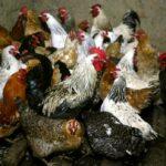 روسيا تسجل أول إصابة بشرية بسلالة (إيه.إتش5إن8) من إنفلونزا الطيور