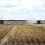 السعودية تستورد 355 ألف طن من القمح