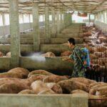 الصين تؤكد تفشي حمى الخنازير الأفريقية في إقليمين رئيسيين