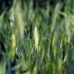 مجلس الوزراء: مصر تزرع 3.418 مليون فدان قمحا