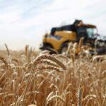 الجزائر تشتري نحو 200 ألف طن من القمح الصلد في مناقصة