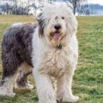 كلب الراعي الإنجليزي بوبتايل يواجه خطر الانقراض
