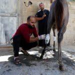 الفلسطينيون يعالجون الحيوانات المصابة جراء العدوان على غزة