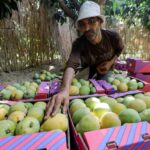 موجة حارة تقلص محصول المانجو في مصر وترفع أسعارها