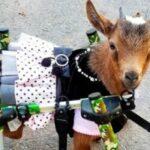 أمريكا.. مزرعة تتخصص في إنقاذ الماعز بأطراف صناعية