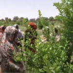 «الجبراكة».. مزارع نسائية صغيرة تتحول لمشروع قومي في السودان