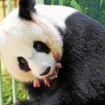 ولادة صغيري باندا في حديقة حيوان بوفال الفرنسية