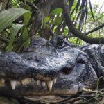 الإمساك بتمساح بداخل جوفه بقايا بشرية في ولاية لويزيانا الأمريكية