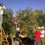 حملة لدعم المزارعين الفلسطينيين في موسم قطف الزيتون